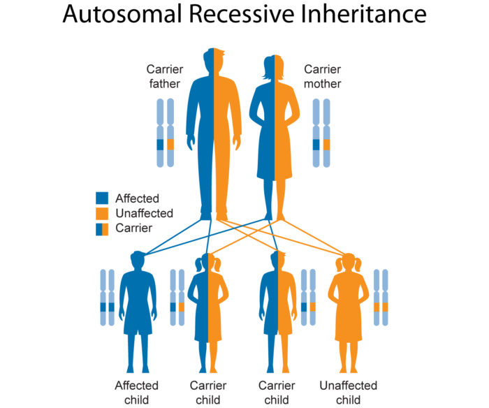 the inheritance pattern for thalassemia disorder Human physiology/genetics and inheritance  only a few disorders have this inheritance pattern  disease called hemoglobin sc disease or hemoglobin s-thalassemia.